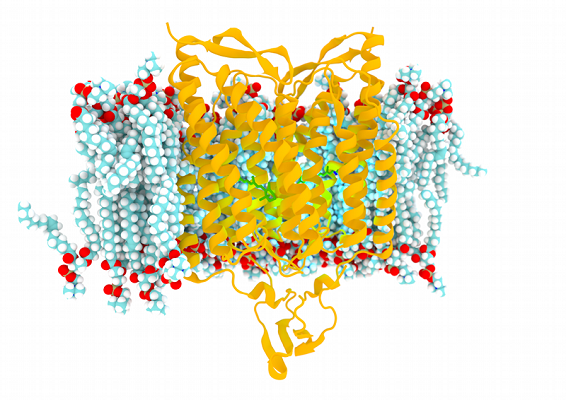 Channelrhodopsin in a Lipid Membrane